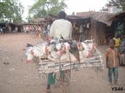 Transport poulets