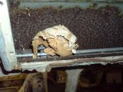 Wespennest im Luftkasten unterm Dach