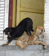 Tibet, Zhangmu, Hunde