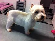 Westhighland White Terrier nach der Behandlung
