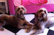 2 spanische Wasserhund Mix Hunde nach der Behandlung