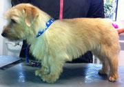 Norfolk Terrier nach dem Handtrimmen