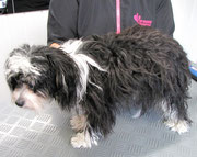 Chinese Crested/ Pudel Mix Vorher