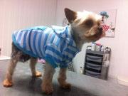 Yorkshire Terrier Im Neuen Outfit
