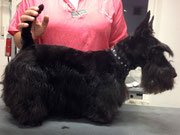 Scottish Terrier Nachher 1