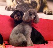 Zwergpudel und Tibet Terrier Mix nach der Behandlung