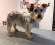 Yorkshire Terrier Mischling Nachher