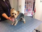 Yorkshire Terrier Nachher