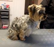 Yorkshire Terrier Mischling Vorher