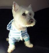 Westhighland Terrier nach der Behandlung im neuen Outfit
