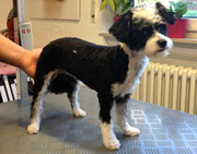 Chinese Crested/ Pudel Mix Nachher