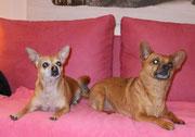 2 Kurzhaar Chihuahuas nach der Pflege