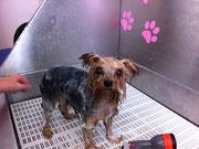 Yorkshire Terrier beim Baden