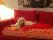 Westhighland Terrier wartet dass er abgeholt wird