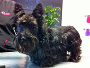 Scottish Terrier Vorher