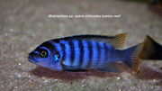 "Metriaclima sp. ""Zebra Chilumba"" (Luwino Reef)"