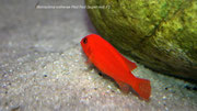 Metriaclima estherae Red Red (super red)