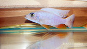 Sciaenochromis fryeri (all white)