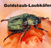 Goldstaub-Laubkäfer