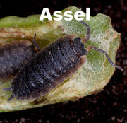 Assel