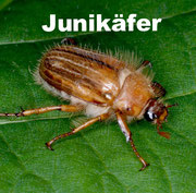 Junikäfer