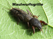 Maulwurfsgrille