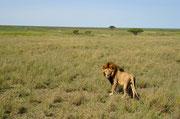 Maschio di leone e paesaggio