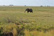 Leoni che riposano e elefante