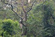 La coda della scimmia Colobus
