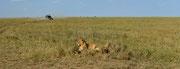 Panoramica con leoni