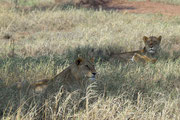 Tre leonesse