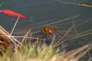 Rospo e pesce rosso