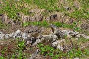 Marmotta in posizione