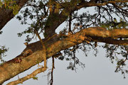 Leopardo e la sua preda