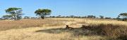 Panoramica con leonesse