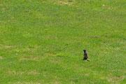 Una marmotta