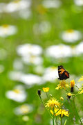 Farfalla e fiori