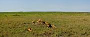 Panoramica del branco di leoni