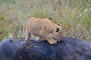 Cucciolo sopra il bufalo