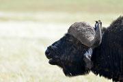 Bufalo e uccello