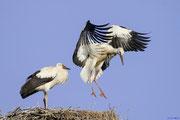Weißstorch, Jungvogel bei Flugübung