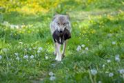 Wolf mit Welpe