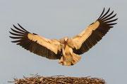 Weißstorch, Anflug auf Nest