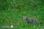 Gatto selvatico - Slovenia