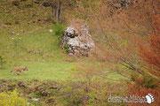 Lupo Appenninico - Parco Nazionale d'Abruzzo Lazio e Molise