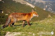 Volpe - Parco Nazionale d'Abruzzo Lazio e Molise