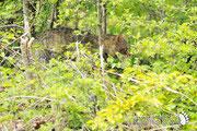 Gatto selvatico - Parco Nazionale d'Abruzzo Lazio e Molise