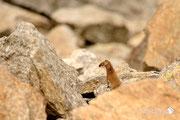Ermellino - Parco Nazionale del Gran Paradiso
