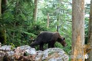 Orso bruno - Slovenia