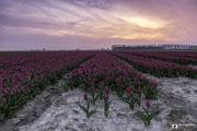 Landschapsfotografie van een tulpenveld tijdens zonsondergang nabij Dirksland